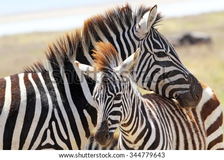 A baby zebra (Equus Quagga) and his mother in Ngorongoro Conservation Area, Tanzania #344779643