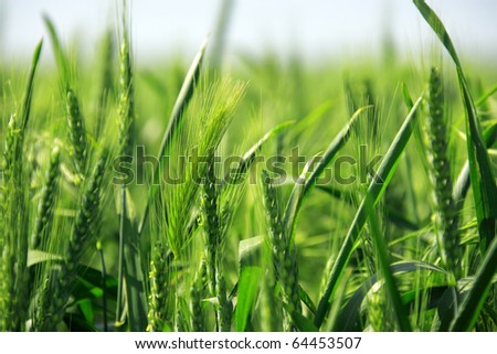 a background image of green barley field