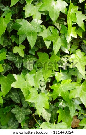 A background of green ivy