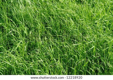 A background of long blades of fresh green grass in soft morning light