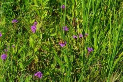 A background of mixed meadow grasses, native wildflowers and a tiny orange and brown skipper butterfly are vital to a balanced pine savanna ecosystem.
