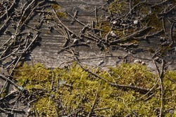 A background of moss, dried twigs and acorns. Macro of mossy wood flooring and dry fallen branches from trees. Moss and dry acorns in the forest