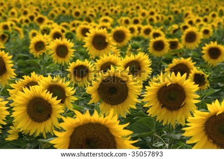 A background with sunflowers