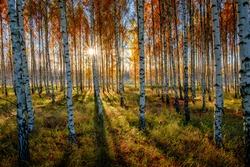 A backlit birch forest captured during a beautiful fall morning, near O?rsundsbro, Sweden.