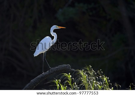 A backlit great white heron, photographed from a kayak on the Cosumnes River in California.