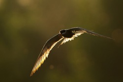 A backlit image of e of White-cheeked Tern, Bahrain