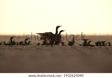 A backlit image of  Socotra cormorants hatching its egg at Hawar island, Bahrain. The largest breeding site in Gulf.  Stockfoto ©