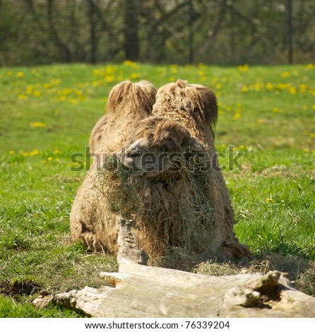 Two Hump Camel http://www.shutterstock.com/pic-76339204/stock-photo-a-bactrian-two-hump-camel-eating-grass.html