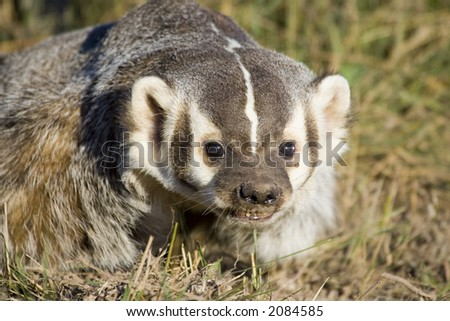 A badger in the grass - stock photo