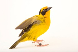 A Baglafecht Weaver bird and white background