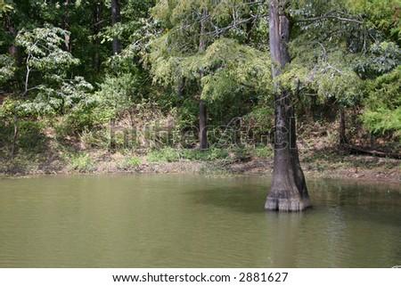A bald cypress tree.