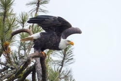 A bald eagle begins to take flight from a branch in north Idaho.