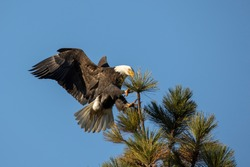 A bald eagle comes in for a landing on a tree top in north Idaho.