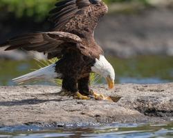 A bald eagle eating a fish carcass on a rocky island on a lake.