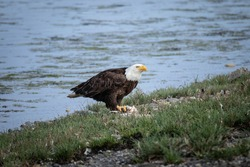 A bald eagle eats its prey along the coast in Washington State.