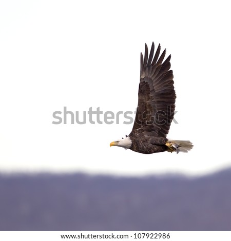 A Bald Eagle flying with a freshly caught fish in its' talons.