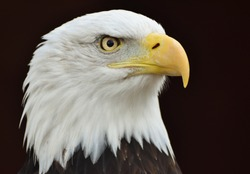 A Bald Eagle (Haliaeetus leucocephalus) on a black background.