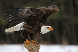 A Bald Eagle (Haliaeetus leucocephalus) taking off.