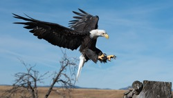 A bald eagle is preparing to land with its talons extended.