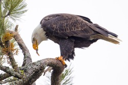 A bald eagle perched on a branch is eating a fish it just caught in north Idaho.