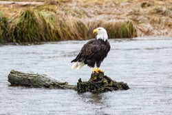 A Bald Eagle perched on a log in British Columbia