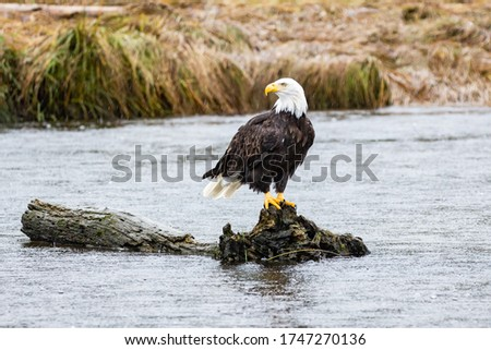 A Bald Eagle perched on a log in British Columbia Stock photo ©