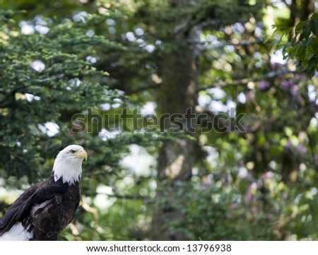 A Bald Eagle perched on a tree branch in the woods.