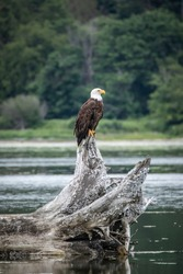 A bald eagle perches upon driftwood in a bay in Washington State.