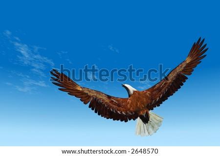A Bald eagle raising towards the sky