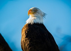 A bald Eagle roosting in a tree