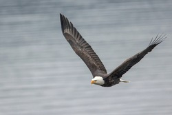 A bald eagle soaring in the sky with wide open wings in north Idaho.
