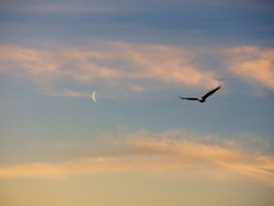A bald eagle soars through the night sky with moon and clouds