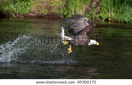 A bald eagle swoops along the surface of a river in Katmai National Park in Alaska to catch salmon