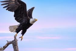 A Bald Eagle Taking Flight