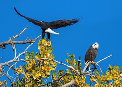A Bald Eagle watches its mate as it lands on the large Cottonwood Tree they share, against a beautiful blue sky, and changing yellow leaves in the Fall Season.
