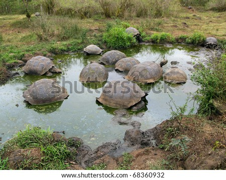 A bale of Galapagos Giant Tortoises (Geochelone nigra) in the Galapagos Islands (Santa Cruz Island)