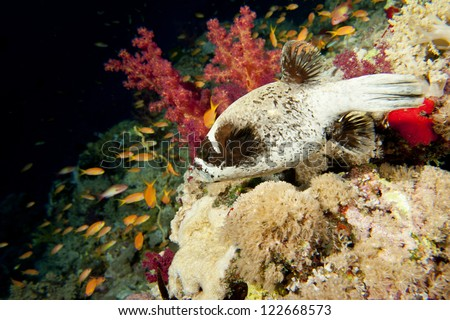 A balloon puffer  fish in the black and red  background - stock photo