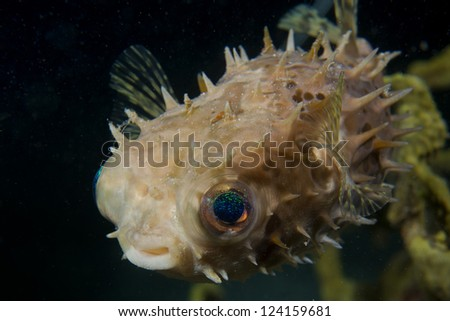 A baloon porcupine fish close up in Cebu Philippines