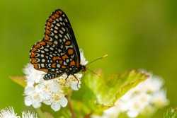 A Baltimore Checkerspot butterfly feeding from a flower in the summer in Wisconsin.