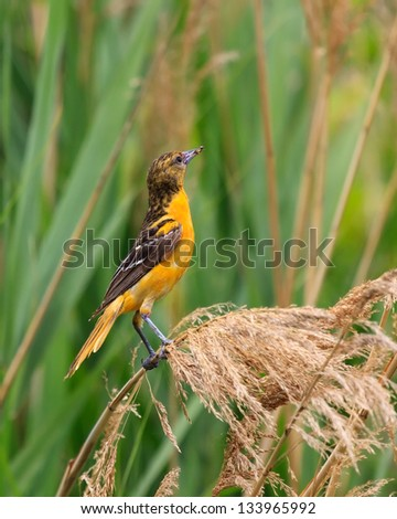 A baltimore oriole clutches an insect in its beak while hanging onto a blade of flowering swamp grass.