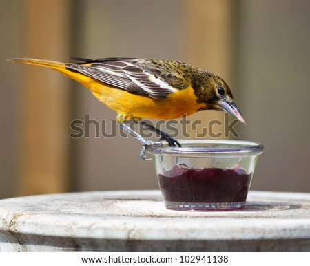A Baltimore Oriole perched on a Jelly dish feeding on grape jelly.