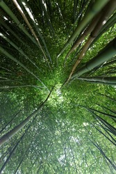 A bamboo grove looking upwards through tall close growing bamboo stalks to the sky. Very green and tunnel like.