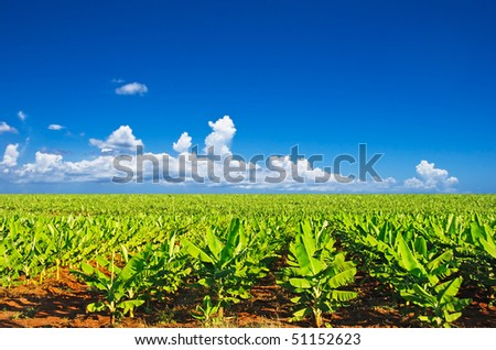 a Banana field in late afternoon sunlight with beautiful sky