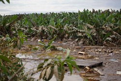 A banana plantation is seen destroyed after been submerged in water during a big flood due to heavy rains in Eldorado city, Ribeira valley, south of Sao Paulo state, Brazil.