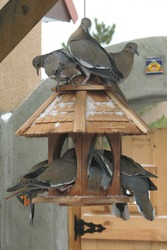 a band of pigeons on bird feeder