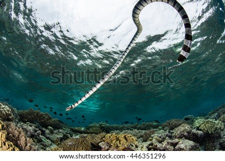 A Banded sea krait (Laticauda colubrina) swims over a shallow reef in Wakatobi National Park, Indonesia. This reptile is extremely venomous but is not aggressive towards humans. #446351296