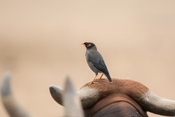 A Bank Myna(Acridotheres ginginianus) perched on a cow's head, Gujarat, India