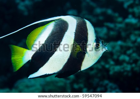 A banner fish looks simiular to a Moorish idol. - stock photo