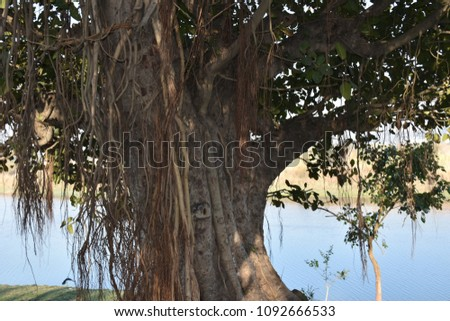 A banyan (or 'banian') is a kind of fig. It usually starts life by growing on another plant as an epiphyte. Its seeds germinate in the cracks and crevices on a host tree, or on other structures.  #1092666533