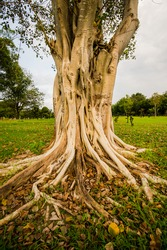 A banyan tree has a strong root system can grow roots go farther.